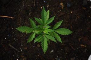 marijuana, personal injury