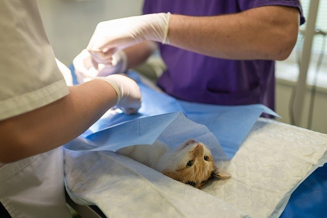 Veterinarians are treating a cat